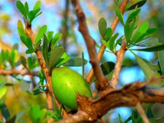 Arganový olej je velmi vzácný a žádaný.