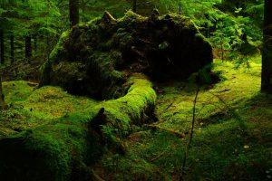 Povoleno kácení v Boubínském pralese, Lesy ČR dostaly výjimku 1